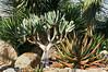 Aloe plicatilis, Fan Aloe