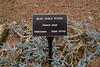 Asteraceae:  Senecio serpens<br /> 2011H 00<br /> <br /> Blue Chalk Sticks, Senecio serpens (misspelled on the plant tag)<br /> Family:  Asteraceae (sunflower family).  Tribe:  Senecioneae<br /> Distribution:  South Africa<br /> <br /> Hidden Lake Gardens Conservatory, Arid Dome.<br /> Tipton, Michigan