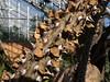 Didiereaceae:  Alluaudia procera<br /> 2011M 06<br /> <br /> Alluaudia or Madagascar Ocotillo.  Alluaudia procera.<br /> Family:  Didiereaceae<br /> <br /> <br /> Matthaei Botanical Gardens Conservatory,<br /> Arid House,<br /> Ann Arbor, Michigan,<br /> February 2011