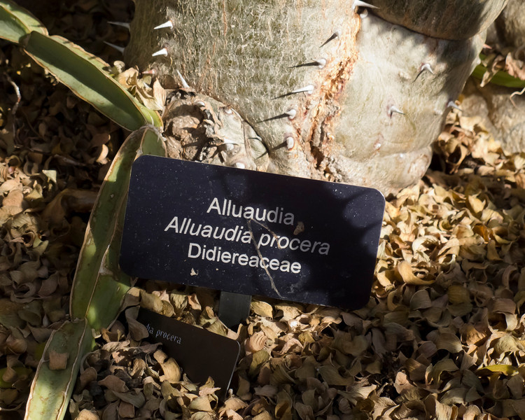 Didiereaceae:  Alluaudia procera<br /> 2011M 00<br /> <br /> Alluaudia or Madagascar Ocotillo.  Alluaudia procera.<br /> Family:  Didiereaceae<br /> This is not a true ocotillo.  It was given its common name because of its resemblance to those plants (which are native to Mexico and the desert southwest of the USA).  It is native to Madagascar, as stated also in the common name.  (So the common name is one part true, and one part fiction. There's a lesson there somewhere.)<br /> <br /> Neither this plant, nor the true ocotillo, belongs to the cactus family.<br /> <br /> Matthaei Botanical Gardens Conservatory,<br /> Arid House,<br /> Ann Arbor, Michigan,<br /> February 2011