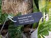 Apocynaceae:  Pachypodium lamerei<br /> 2011M 00<br /> <br /> Madagascar Palm, Pachypodium lamerei (misspelled on the tag)<br /> Native to:  Madagascar<br /> <br /> Matthaei Botanical Gardens Conservatory, Arid House.<br /> Ann Arbor, Michigan.