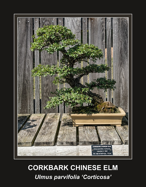 Corkbark Chinese Elm bonsai
