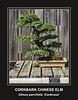 Corkbark Chinese Elm bonsai