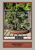Amur maple bonsai