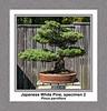 Japanese White Pine, specimen 2