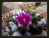 Mammillaria #01-2011M 12<br /> <br /> Pincushion. Mammillaria unknown_018 (MBG).<br /> Family: Cactaceae<br /> <br /> Matthaei Botanical Gardens Conservatory,<br /> Arid House,<br /> Ann Arbor, Michigan,<br /> February 2012