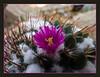Mammillaria #01-2011M 12<br /> <br /> Pincushion. Mammillaria unknown_018 (MBG).<br /> Family: Cactaceae<br /> <br /> Matthaei Botanical Gardens Conservatory,<br /> Arid House,<br /> Ann Arbor, Michigan,<br /> February 2012