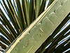 "Detail of a leaf of the Agave americana 'variegata'<br /> A shot of the full plant, which is quite large, is here:  <a href=""http://smu.gs/13SxvX5"">http://smu.gs/13SxvX5</a><br /> <br /> Matthaei Botanical Gardens Conservatory<br /> Ann Arbor, Michigan<br /> January 4, 2013"