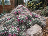 Strength in numbers - Pile of cacti, all in bloom