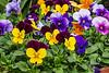 D075-2015  Pansies etc. in spring display.<br /> <br /> Hidden Lake Gardens, Michigan<br /> March 16, 2015