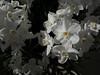 Bulbs in bloom:  white narcissi<br /> <br /> Matthaei Botanical Gardens<br /> February, 2011