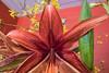 Unusual amaryllis