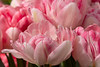 Jostling for Attention.  Tulips - variegated pink