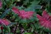Foliage plants miscellaneous 04b<br /> <br /> Colorful foliage (Caladium?)