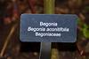 Plant label:  Begonia aconitifolia