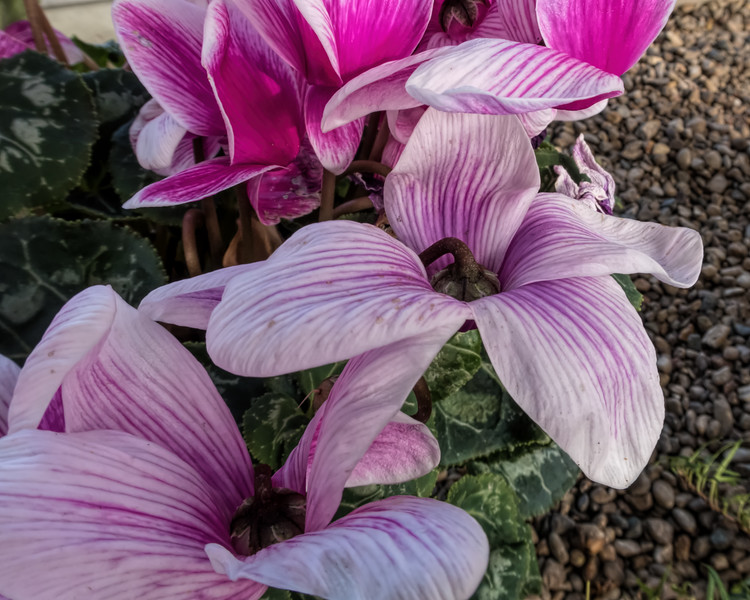 Bottoms up - looking down on the bottom of cyclamen blooms  (sc 2018-01-30)