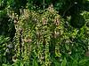 D240-2012  Fuchsias<br /> <br /> Temperate House, Hidden Lake Gardens<br /> August 28, 2012