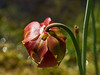 D076-2013<br /> Bloom of a pitcher plant, Family Sarraceniaceae.<br /> This is one of several North American native pitcher plants, but I don't know which.<br /> .<br /> The Conservatory at Matthaei Botanical Gardens,<br /> Ann Arbor, Michigan<br /> March 17, 2013