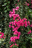 Large bougainvillea vine in riotous bloom