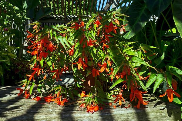 Tender Perennials