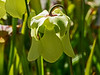 D076-2013<br /> Bloom of a pitcher plant, Family Sarraceniaceae.<br /> The yellow blossoms belong, I think, to the Yellow Pitcher Plant, Sarracenia alata.<br /> .<br /> The Conservatory at Matthaei Botanical Gardens,<br /> Ann Arbor, Michigan<br /> March 17, 2013