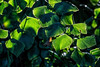 Foliage plant (fern?) with back lighting (sc 2017-12-29)