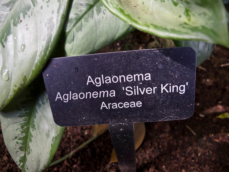 Plant ID label for Aglaonema 'Silver King'