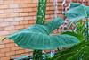 Taro, Colocasia esculenta