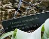 Plant ID label for Tillandsia streptophylla