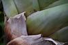 Alcantarea regina<br /> 2011M 06<br /> <br /> Alcantarea regina<br /> Family:  Bromeliaceae / Sub-family:  Tillandsioideae<br /> Native to:  Brazil, South America<br /> <br /> Conservatory of the Matthaei Botanical Gardens,<br /> Ann Arbor, Michigan,<br /> March, 2011.