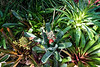 Aechmea chantinii<br /> 2017M 03<br /> <br /> Aechmea chantinii<br /> Family:  Bromeliaceae / Sub-family:  Bromelioideae<br /> Native to:  the Amazon rainforest<br /> <br /> Aechmea chantinii is a bromeliad native to the Amazon Rainforest vegetation in Brazil, Venezuela, Colombia, Ecuador and Peru. Commonly known as Amazonian zebra plant, it is often used as an ornamental plant.<br /> <br /> <br /> D055-2017  <br /> <br /> Conservatory, Matthaei Botanical Gardens, Ann Arbor<br /> Taken February 24, 2017