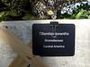Plant ID label for Tillandsia ionantha