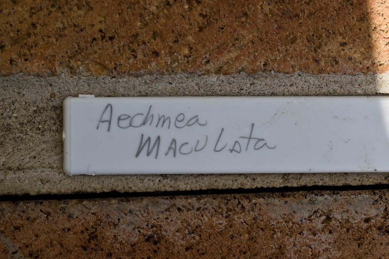 Plant ID label for Aechmea maculata