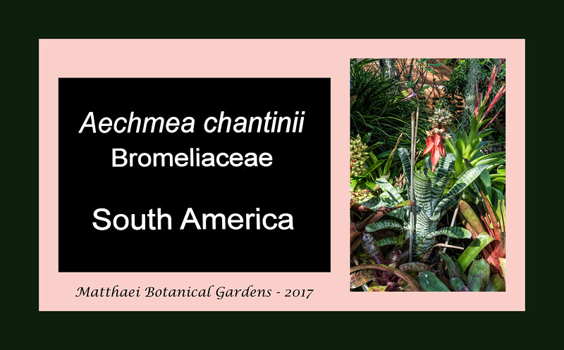 Aechmea chantinii<br /> 2017M 00<br /> <br /> Aechmea chantinii<br /> Family:  Bromeliaceae / Sub-family:  Bromelioideae<br /> Native to:  the Amazon rainforest<br /> <br /> Aechmea chantinii is a bromeliad native to the Amazon Rainforest vegetation in Brazil, Venezuela, Colombia, Ecuador and Peru. Commonly known as Amazonian zebra plant, it is often used as an ornamental plant.<br /> <br /> <br /> D055-2017  <br /> <br /> Conservatory, Matthaei Botanical Gardens, Ann Arbor<br /> Taken February 24, 2017