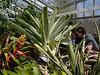 Alcantarea regina<br /> 2011M 02<br /> <br /> Alcantarea regina<br /> Family:  Bromeliaceae / Sub-family:  Tillandsioideae<br /> Native to:  Brazil, South America<br /> <br /> Conservatory of the Matthaei Botanical Gardens,<br /> Ann Arbor, Michigan,<br /> March, 2011.