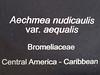 Plant ID label for Aechmea nudicaulis var. aequalis