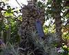 Plant ID label for Tillandsia ionantha var. rosita