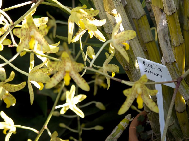 Ansellia:  Ansellia africana<br /> ID Orchid 2011M 00<br /> <br /> Ansellia africana<br /> <br /> Conservatory of the Matthaei Botanical Gardens,<br /> Ann Arbor, Michigan,<br /> March, 2011.