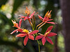 Orchid - Epidendrum ibaguense
