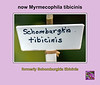 Plant ID label for orchid formerly known as Schomburgkia tibicinis