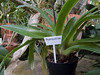 Generic plant label ID for a Paphiopedilum orchid