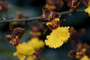 Oncidium:  Oncidium hyphaematicum<br /> ID Orchid 2011M 03<br /> <br /> Oncidium hyphaematicum (ID'd in 2012 from a tag that either wasn't present or wasn't readable in 2011)<br /> <br /> <br /> Conservatory of the Matthaei Botanical Gardens,<br /> Ann Arbor, Michigan,<br /> March, 2011.