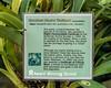 Plant label for Oncidium Illustrae 'Matthaei'