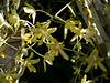 Ansellia:  Ansellia africana<br /> ID Orchid 2011M 03<br /> <br /> Ansellia africana<br /> <br /> Conservatory of the Matthaei Botanical Gardens,<br /> Ann Arbor, Michigan,<br /> March, 2011.