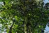 Burmeses Fishtail Palm