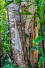 Caryota urens, Burmese Fishtail Palm - trunk detail