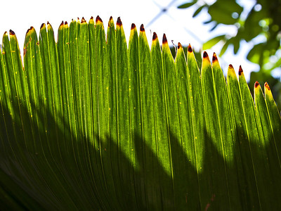 Humid etc Catalog of Palms Cycads Dioons (new sorting)