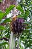 Blooms on a Bermese jFishtail Palm