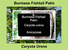 Plant ID label for Caryota urens, Burmese Fishtail Palm