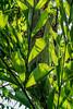 Burmese fishtail palm, foliage detail